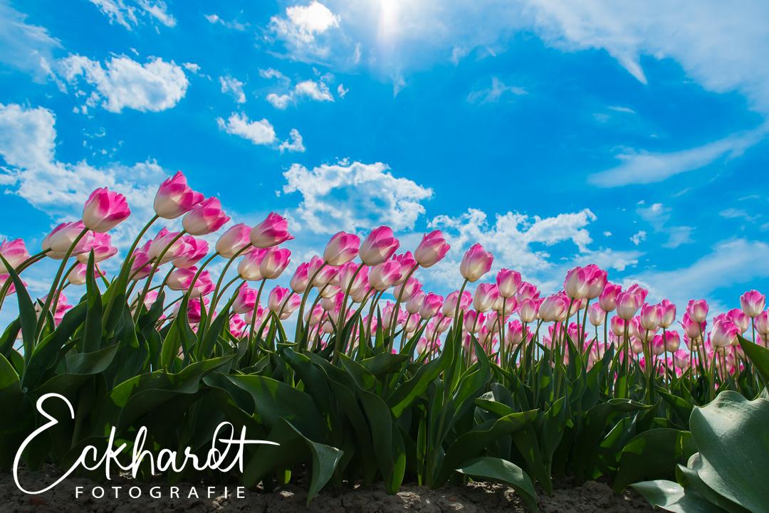 mooiste bloembollenvelden