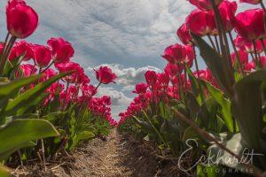Bloembollenvelden in bloei 02