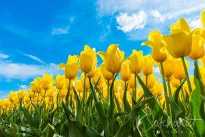 Bloembollenvelden in bloei 04